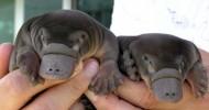 Утконос — самое необычное млекопитающее (19 фото + видео)