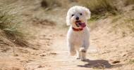 Порода собак бишон фризе (30 фото)