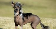 Необычная порода собак «Китайская хохлатая» (27 фото)
