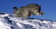 Снежный барс (35 фото)