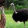 kartinki24_ru_animals_giraffes_0016[1]