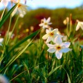 narcissus_valley_01_large