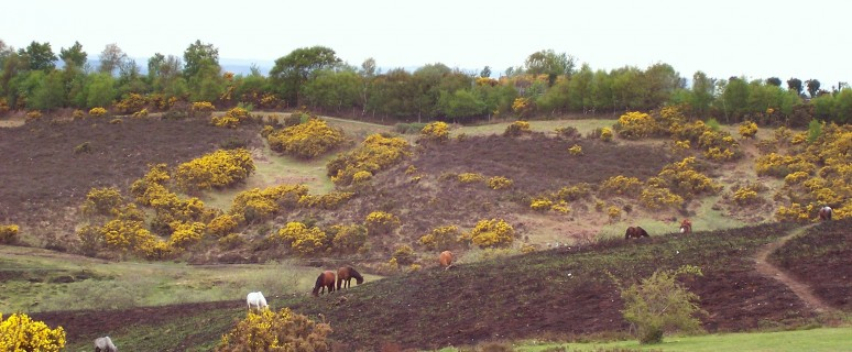 New_Forest_heath_and_horses