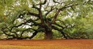 Необыкновенное дерево «Дуб Ангела», США