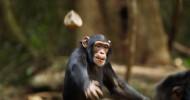 Шимпанзе — приемная мать тигрят (21 фото)