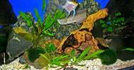 Платиновая арована – дорогая аквариумная рыбка