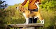 Собаки породы бигль (34 фото)
