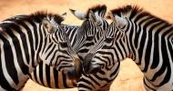 Зебры: порочный путь