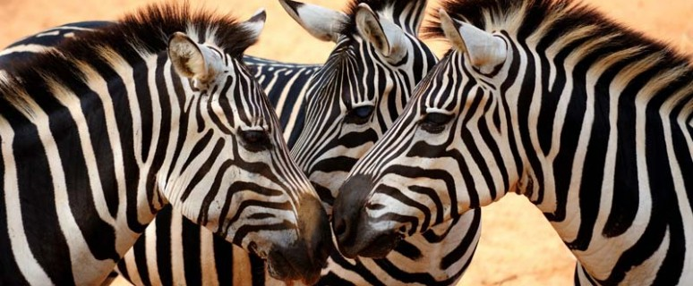 zebra-1[1]