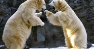 Белые медведи играют (16 фото)