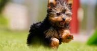 Порода собак Йоркширский терьер (30 фото)