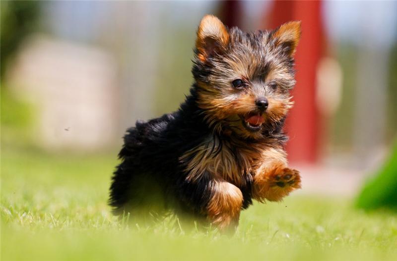 фото собак йоркширский терьер