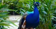 Прекрасная птица павлин (26 фото)