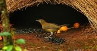 Шалашники — птицы из Австралии