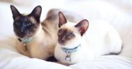 Сиамские кошки (30 фото)