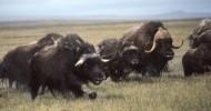 Самый лохматый и самый рогатый — овцебык