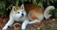 Акита-ину — порода собаки Хатико (28 фото)