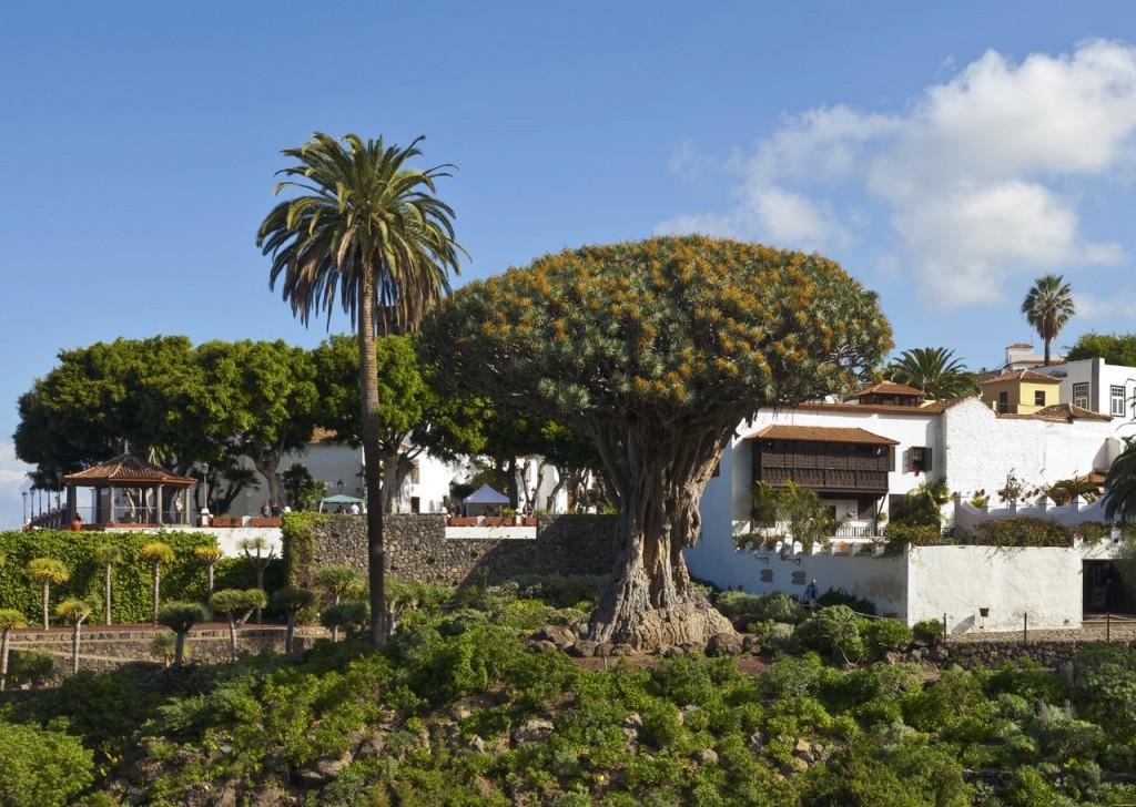 Символом острова Тенерифе. Драконово дерево