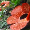 Rafflesia-arnoldii04