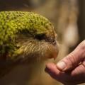kakapo-i