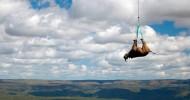 Транспортировка черного носорога