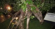 Пьяный лось залез на яблоню (6 фото)