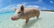 Плавающие свиньи у Багамских островов (22 фото)