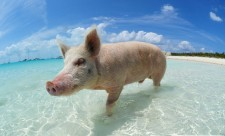 swimming-pigs-bahamas-big-major-cay-191