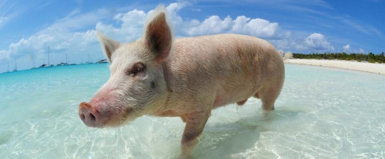swimming-pigs-bahamas-big-major-cay-191
