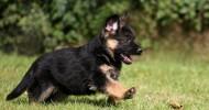 Немецкая овчарка — 30 фото. Выбор щенка в питомнике