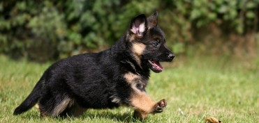 German-shepherd-puppy-dog-pet