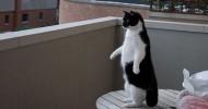 Коты прямоходящие (фото и видео)