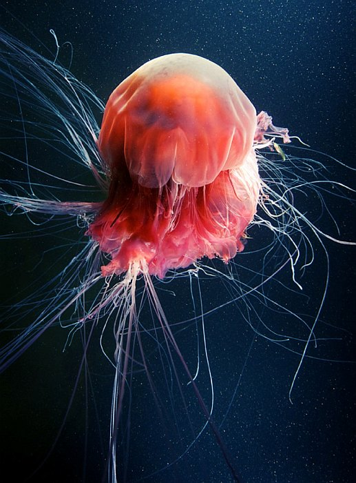 meduza-7