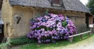 Гортензия садовая (описание, уход). 29 фото