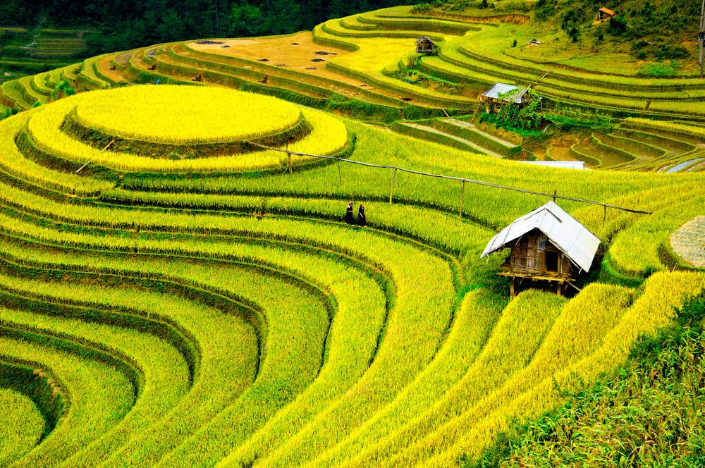 Рисовое поле во Вьетнаме