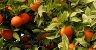 Апельсиновые сады