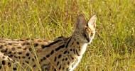 Африканская кошка сервал (описание, 30 фото)