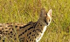 cat-serval