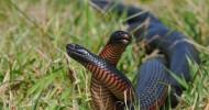 Австралийская черная змея (11 фото)