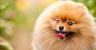 """Новые фото знаменитой собаки Бу породы """"померанский шпиц"""""""