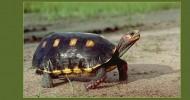 Потерявшуюся в квартире черепаху нашли живой через… 30 лет!