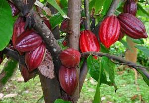 Так растет какао