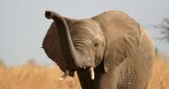 Правда ли, что слоны ничего не забывают?
