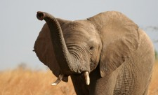 africanskii-slon18