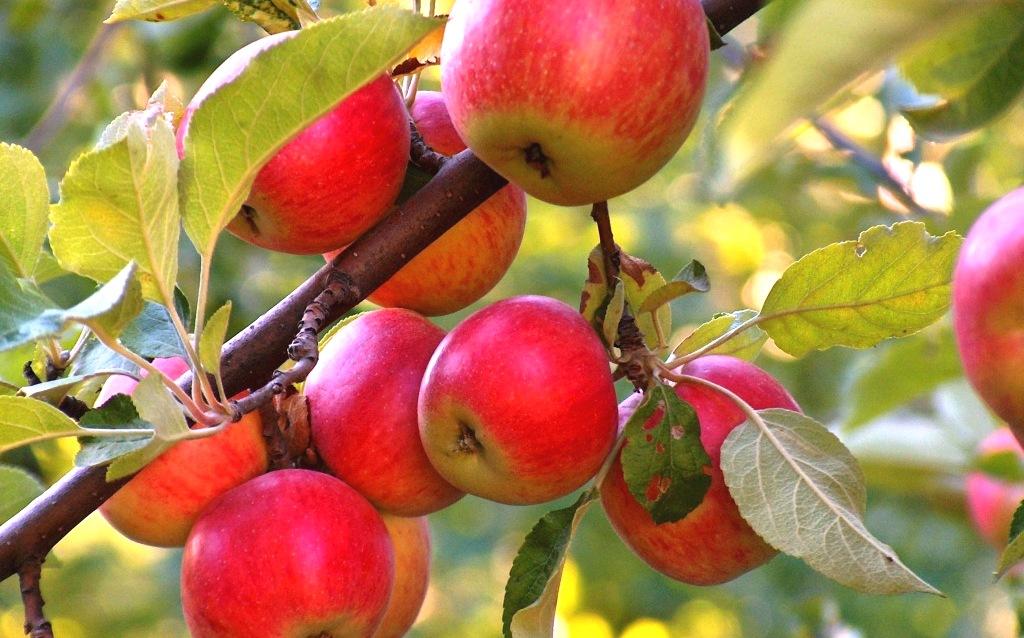 Дары Природы - яблоки
