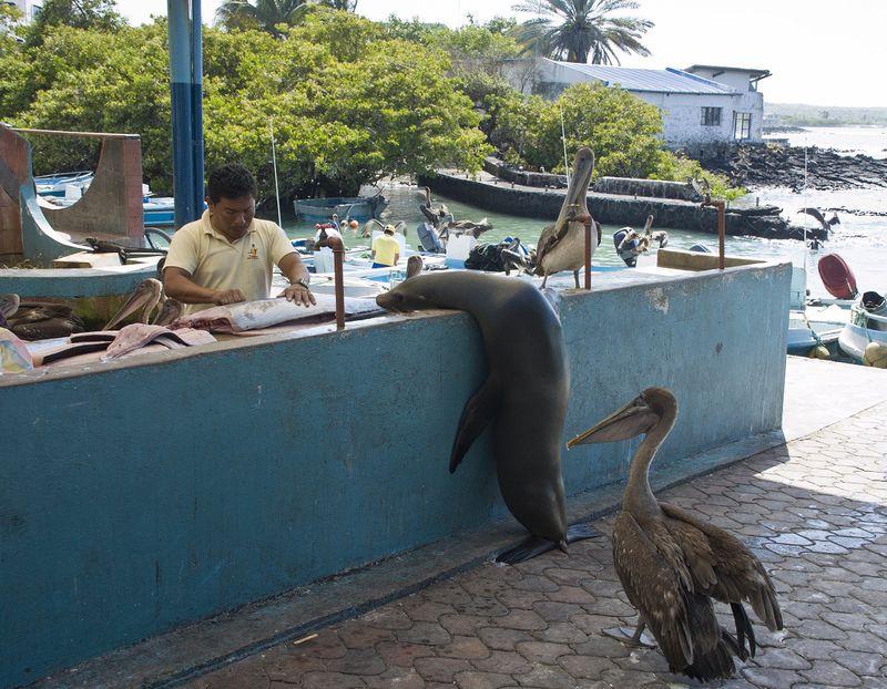 Галапагосские острова, остров Санта Крус, морской котик и пеликан