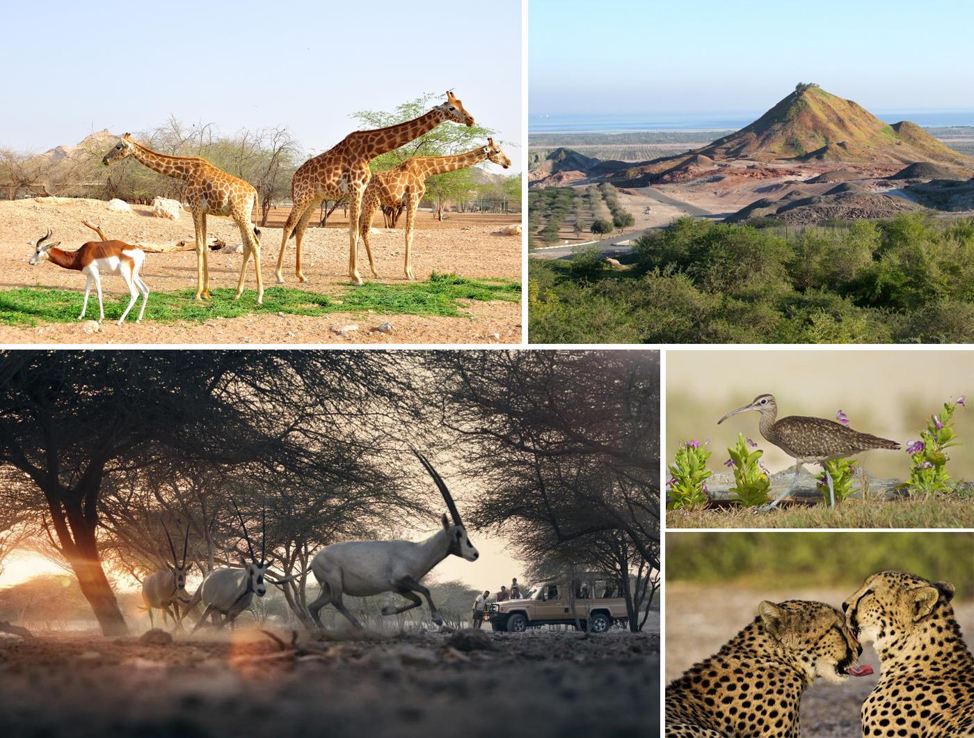 Заповедник Arabian Wildlife Park на острове Sir Bani Yas
